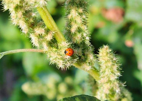 Ladybug, Insect, Ladybird Beetle, Beetle, Red Beetle