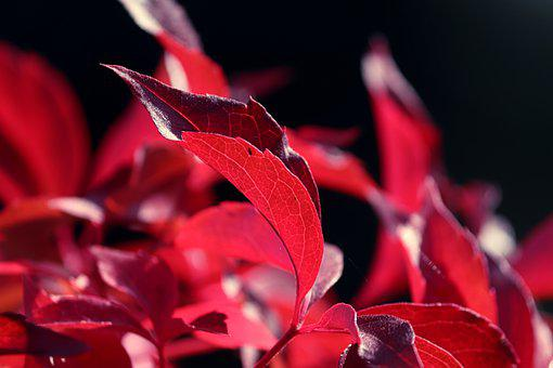 Fall, Leaves, Plant, Red Leaves, Red Foliage, Foliage