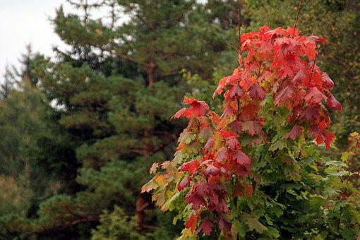 Maple, Autumn, Nature, Leaves, Fall, Tree