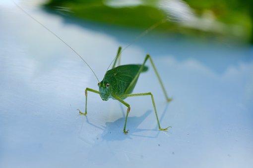 Cricket, Insect, Macro, Bug, Fauna, Bush Cricket, Legs