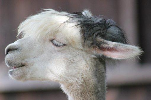 Alpaca, Farm, Animal, Head, Livestock, Wool, Fluffy