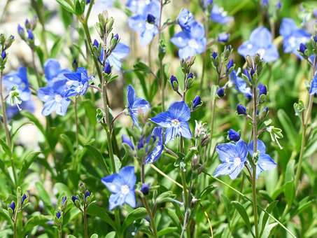Rock Speedwell, Flower, Blossom, Bloom, Alpine Flower