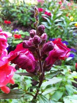 Loewenmaeulchen, Antirrhinum, Flower, Ornamental Plant