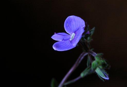 Veronica Chamaedrys, Flower, Blue, Grasshopper, Wild