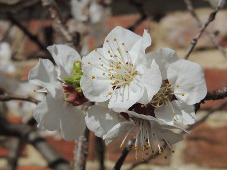 Cherry, Blossom, Mount, Vernon, Wall, Flower, Japanese