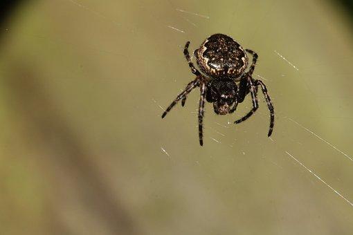 Araneus, Spider, Web, Nature, Arachnids, Close Up, Legs