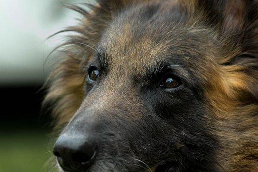 Dog, Tervueren, Look, Belgian Shepherd, Long Hair