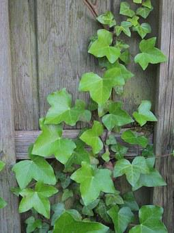 Ivy, Wall, Climber, Efeuranke, Ranke, Entwine, Nature