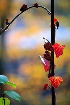 Ivy, Entwine, Autumn Colours, Autumn, Rank Growths
