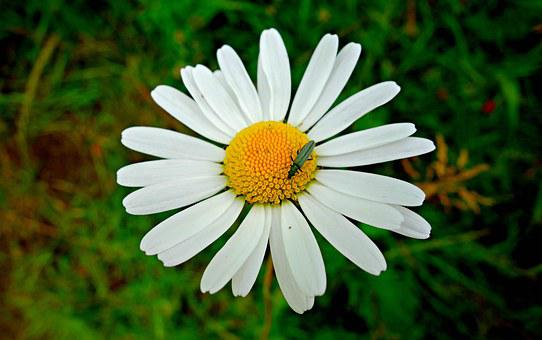 Daisy, Ox Eye Daisy, Flower, Plant, Petal, Heart