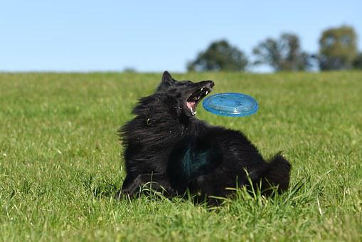 Dog, Frisbee, Motion Recording, Belgian Shepherd Dog