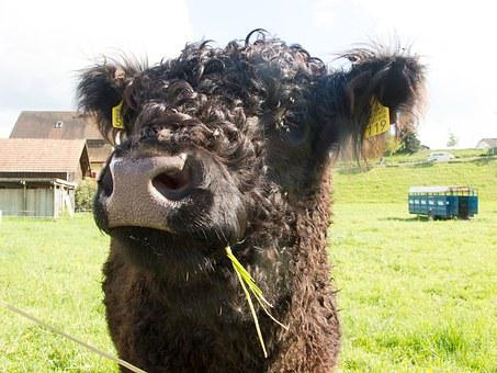 Cow, Agriculture, Cattle, Animals, Livestock, Galloway