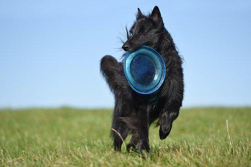 Dog, Frisbee, Groenendael, Belgian Shepherd Dog