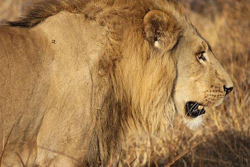 Lion, King, Big Cat, Predator, Mane, Animal, King Lion