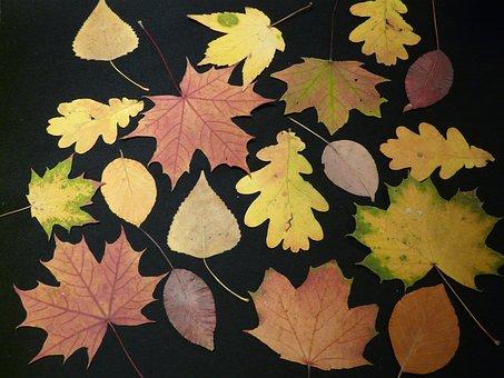 Fall Leaves, Pressed, Tinker, Press Sheets, Oak, Beech