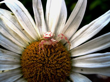 Crab Spider, Pink And White, Small, Arachne, Daisy