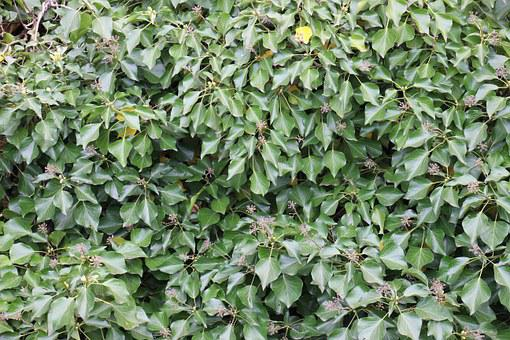 Ivy, Green, Climber, Leaf, Plant, Ivy Leaves, Ranke