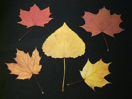 Poplar Leaf, Maple Leaves, Fall Leaves, Pressed, Poplar