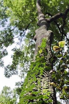 Tree, Ivy, Log, Climber, Green, Bark, Nature, Ranke