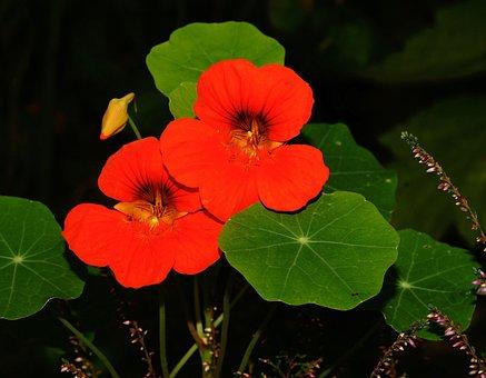 Nasturtium, Blossom, Bloom, Ranke, Small Flowers, Leaf