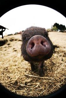 Pig, Nose, Sniffing, Smell, Snout, Piglet, Pig Nose