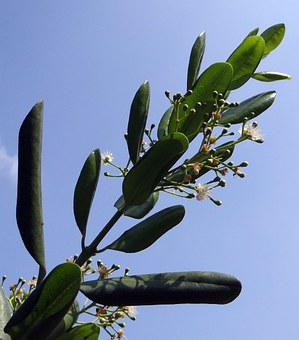 Jamaica Pepper, Pepper, Spice, Flowers, Pods, Seedpods