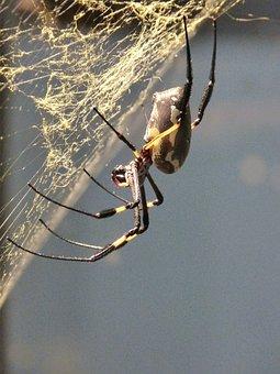 Spider, Arachne, Tropics, Network, Cobweb, Animal