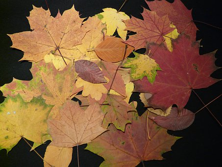 Fall Leaves, Pressed, Tinker, Press Sheets, Leaves