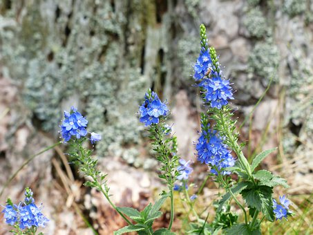 Large Speedwell, Veronica Teucrium, Blossom, Bloom