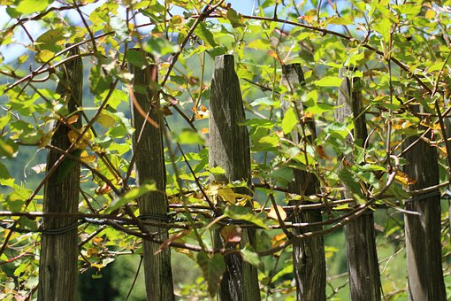 Climber Plant, Creeper, Fence, Wood Fence, Roll Fence
