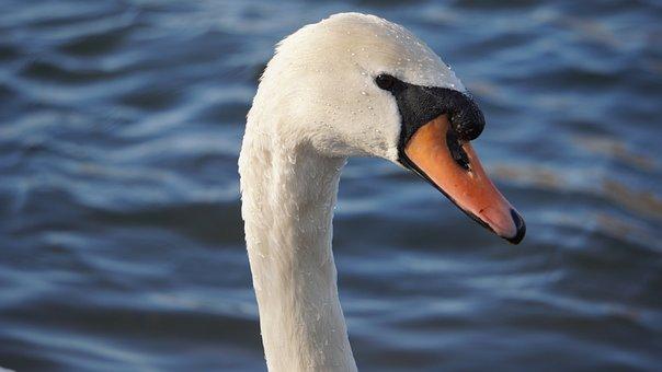 Swan, Bird, Lake, Waterfowl, Animal, Water Vird, Beak
