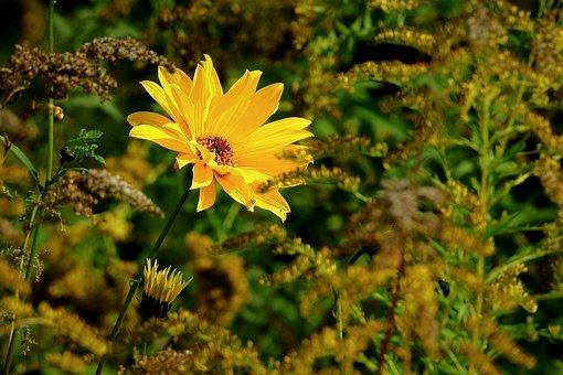 Sunflower, Flower, Plant, Yellow Flower, Petals, Buds