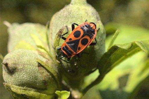 Insect, Beetle, Entomology, Species, Macro, Bug