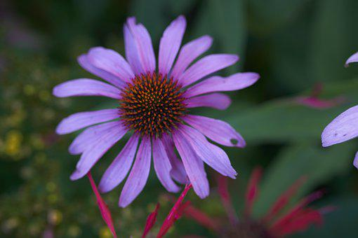 Purple Coneflower, Flower, Plant, Coneflower, Petals