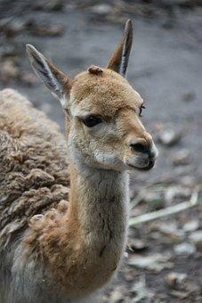 Llama, Animal, Mammal, Llama Head, Llama Ears