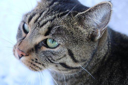 Cat, Pet, Feline, Animal, Fur, Kitty, Mammal, Head