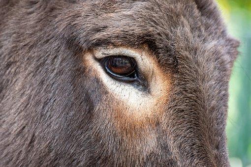 Donkey, Head, Eye, Animal, Mammal, Fur, Look, Closeup