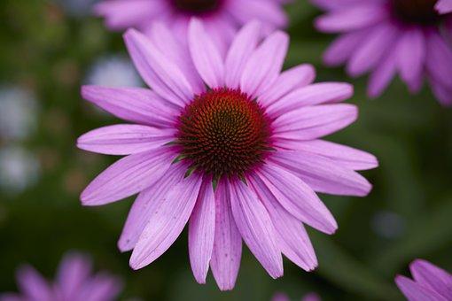 Purple Coneflower, Flower, Plant, Coneflower