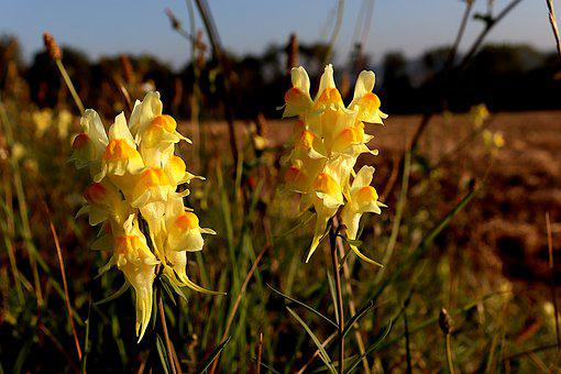 Yellow Toadflax, Flowers, Plants, Toadflax