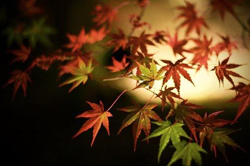 Japanese Maple, Leaves, Fall, Autumn, Maple Leaves