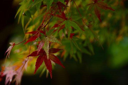 Japanese Maple, Leaves, Fall, Autumn, Dew, Wet