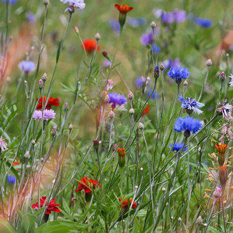 Flowers, Meadow, Nature, Field, Blossom, Bloom, Flora