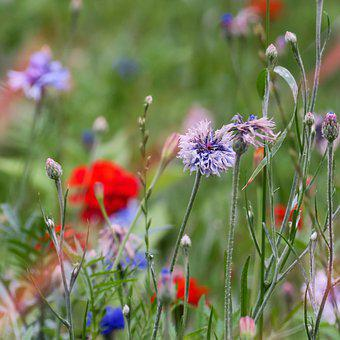 Flowers, Meadow, Nature, Field, Blossom, Bloom, Plant