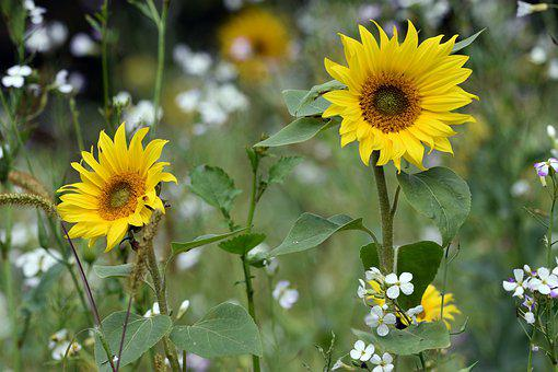 Sunflowers, Flowers, Meadow, Yellow Flowers, Petals