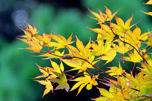 Maple, Leaves, Fall, Maple Leaves, Yellow Leaves