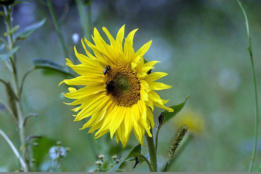 Bees, Sunflower, Flower, Insects, Yellow Flower, Petals