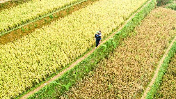 Agriculture, Nature, Field, Farm, Plantation, Rice