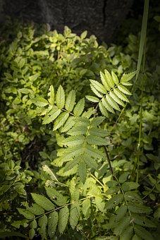 Leaves, Foliage, Plants, Green Leaves, Green Foliage