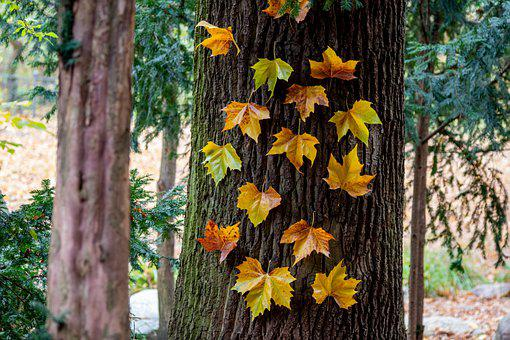 Maple Leaves, Trunk, Fall, Autumn, Maple, Leaves