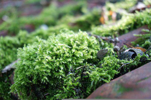 Moss, Plants, Roof Tile, Green, Organic, Roof Pan